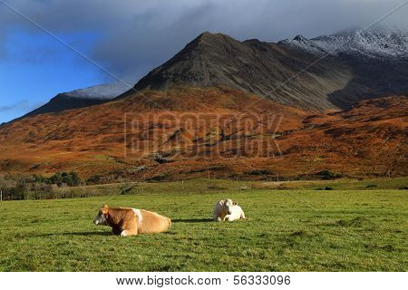 Catlle on the Island of Skye, Scotland, Europe
