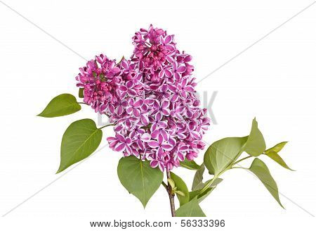 Spray Of Purple And White Lilac Flowers Isolated Against White