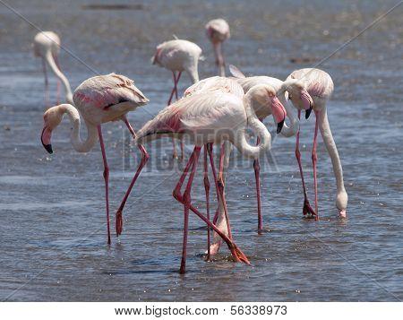 Pink Flamingos In Walvis Bay
