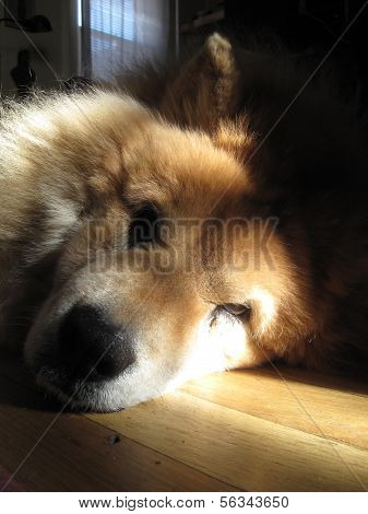 Chow chow dog napping