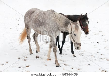 Two Horses Dapple-grey And Dark Walking On The Snow