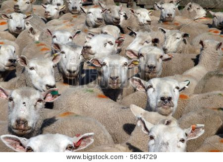 Mob Of Marked Sheep