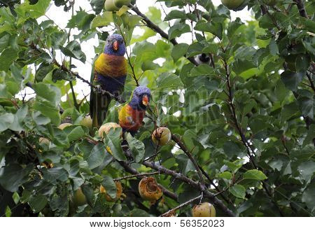 Male And Female Australian Native Rosella Birds, Rainbow Lorikeets Parrots