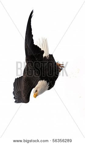 Diving Bald Eagle