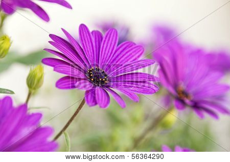 Close-up Of Purple Osteospermum Daisy