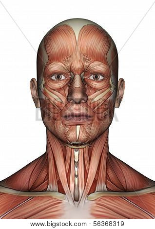 Male Anatomy Face
