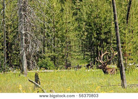 Wapiti Deer
