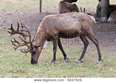 European Reindeer
