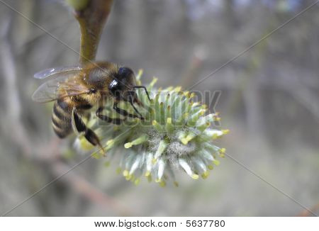 industious bee