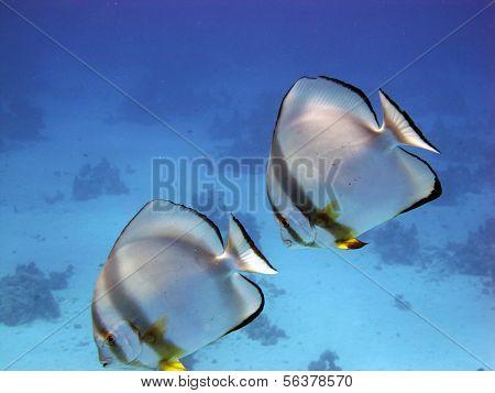 Batfish couple