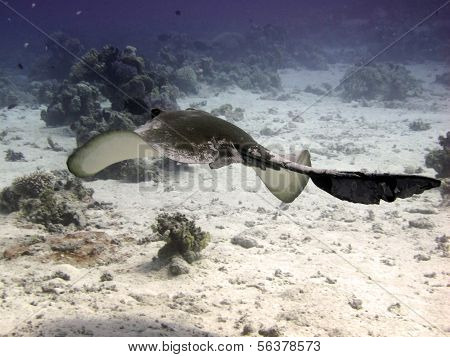 Feathertail stingray