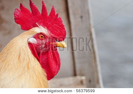 Rooster with a large red comb