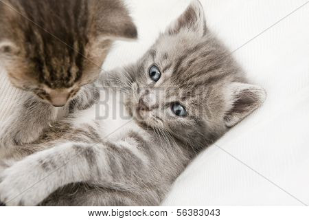 Two Cats Babies Playing