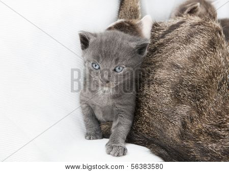 Cat Babie Next To Mother