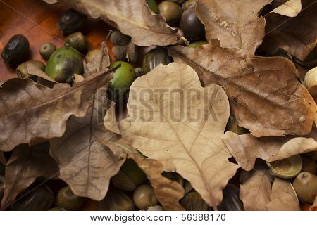 oak  and acorns