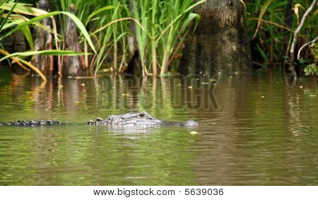 Louisiana Alligator