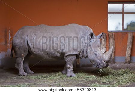 Rhino Chews Grass In A Zoo Aviary