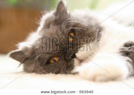 Fancy Persian Cat