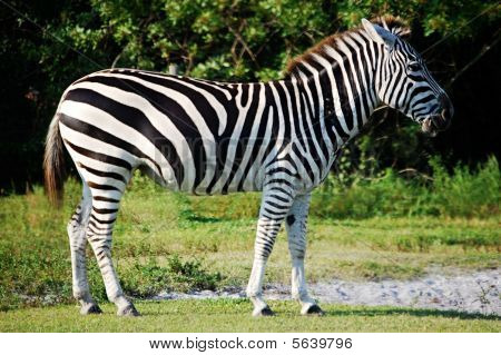 Zebra walking in grass