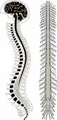 stock photo of spinal column  - human brian with spinal cord and spinal column - JPG