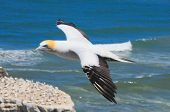 picture of gannet  - Flying bird. Muriwai beach gannet colony in New Zealand