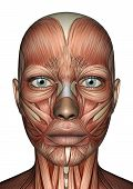 Постер, плакат: Женской анатомии лица