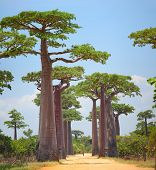 image of baobab  - Baobabs and rural road in Africa at sunny day - JPG