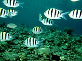 image of damselfish  - A group of sergeant major damselfish swimming in blue water - JPG