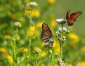 Two Butterflies  Feeding