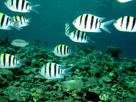 picture of sergeant major  - A group of sergeant major damselfish swimming in blue water - JPG