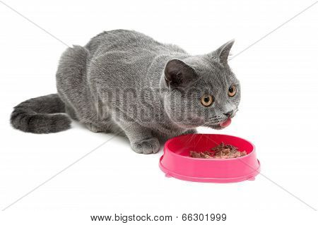 Cat (breed Scottish Straight) Eating Food From A Bowl On A White Background.