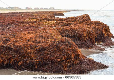 Buildup of Seaweed on the Beach