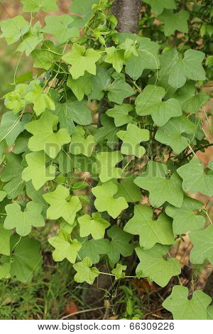 green ivy type plant