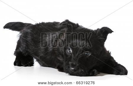 Scottish Terrier puppy in play bow isolated on white background - 4 weeks old