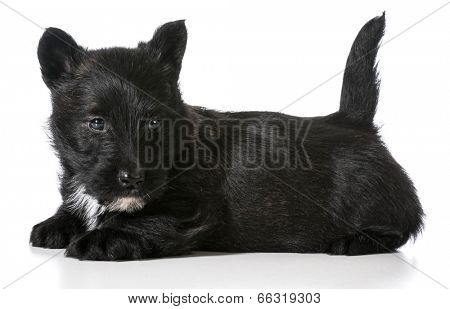 scottish terrier puppy laying down isolated on white background