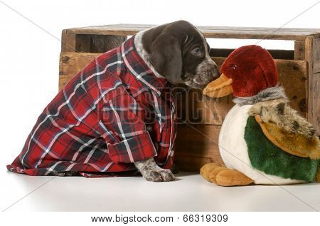 german shorthaired pointer hunting dog on white background