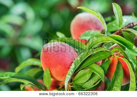Peaches In Tree After Rain