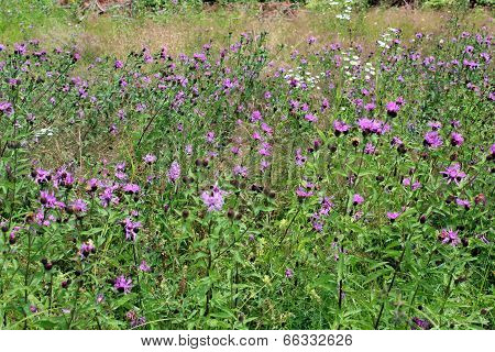 Field Of Flowers Of Cirsium Arvense