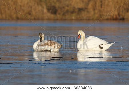 Adult And Juvenile Swans On Ice