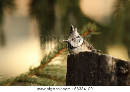 Crested Tit Eating Bread