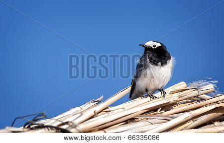 Masked Wagtail Bird