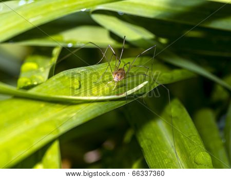 Pholcidae, Commonly Known As Cellar Spiders, Are A Spider Family