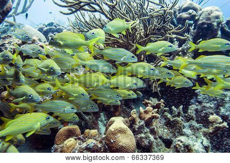 Yellowtail Snapper, Ocyurus Chrysurus