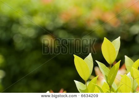Fresh leaves
