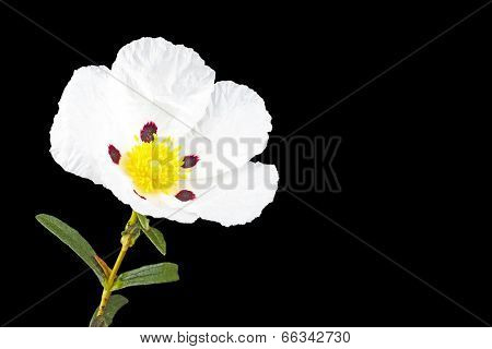 Gum rockrose - Cistus ladanifer - in the heath fields of Alentejo, Portugal