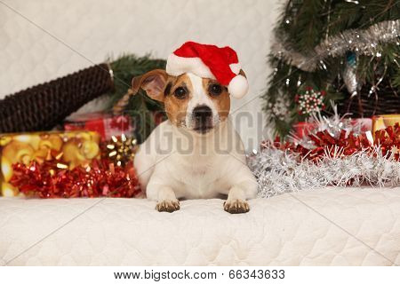 Gorgeous Lying Jack Russell Terrier With Santa Hat In A Christmas