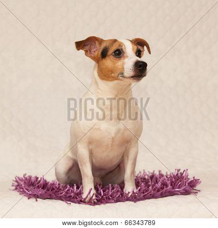 Cute Jack Russell Terrier Lying On Purple Blanket