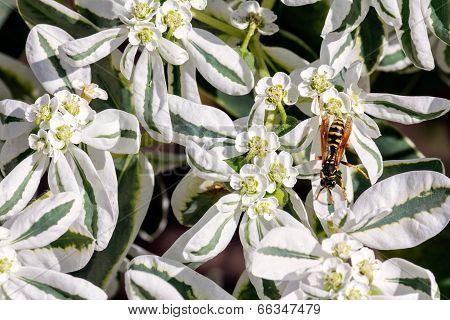 European Wasp On White Flowers