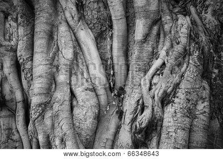 Big Bothi Tree For Background