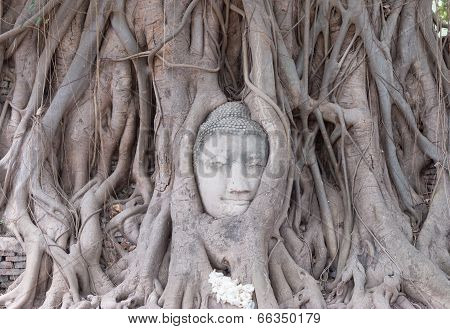 Head of Sandstone Buddha in The Tree Roots